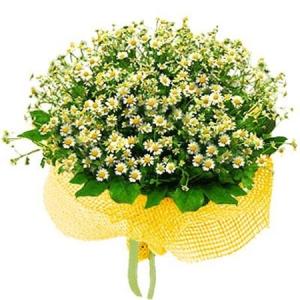 Продажа цветов ромашка